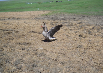 Tilly our Toulouse Goose